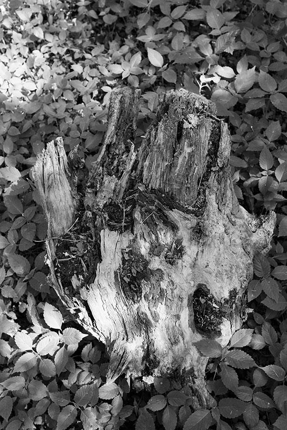 fotografia tronco albero argentico